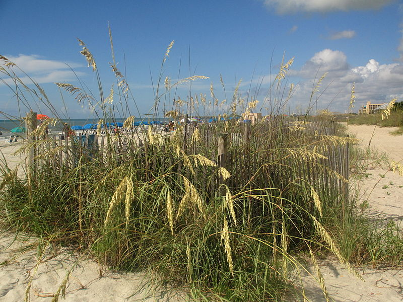 800px-Sea_oats_at_Myrtle_Beach,_SC_IMG_4499