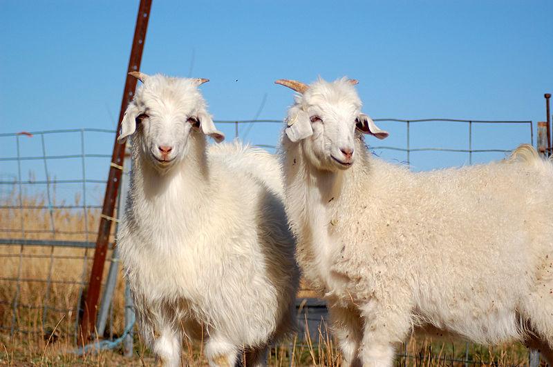 800px-Australian_Cashmere_Goats